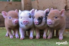 Petpiggies have some stunning micro pig piglets available. Check out our website www.petpiggies.co.uk or email info@petpiggies.co.uk for further details.