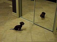 Mini Dachshund Puppy Vs. Mirror!