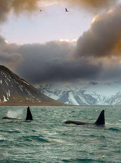 #Orcas en #Islandia #Iceland