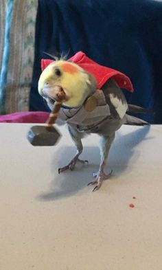 Post with 1704 votes and 105635 views. Tagged with birbs; Ready for the new Thor movie Funny Birds, Cute Birds, Cute Animal Photos, Funny Animal Pictures, Cute Little Animals, Cute Funny Animals, New Thor Movie, Diy Bird Toys, Funny Parrots