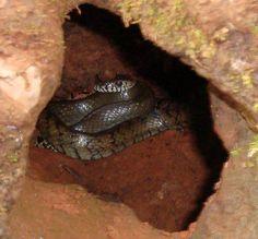 Snake in a tree trunk, Matheran