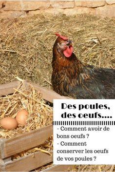 Des poules, des oeufs, quoi de mieux ? Voici quelques conseils pour avoir de bons oeufs de poule et pour mieux les conserver... #poule #pondeuse #oeufs #conseils #farmili