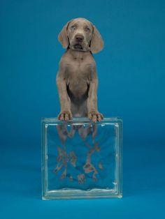 dog portraits by william wegman part2 11 Dog portraits by William Wegman {Part 2}