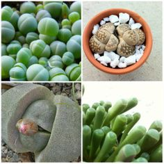 Mesembs or Mimicry Plants