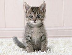 Grey kitten'