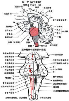 解剖生理から見る人間としての脳・神経機能