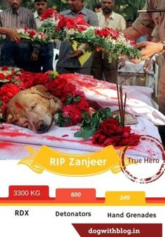Zanjeer the dog who helped save 'human' lives in the aftermath of Bombay bomb blasts of 1993, detecting over 3300 kg of RDX.
