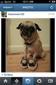 Pug slippers on pug