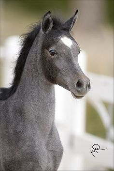#Beautiful #colour #young #Horse #baby #potro #foal #caballo #horses #cavalos #gray #bebe #KisakiClub