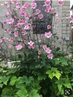 Anemone Du Japon, Cottage Garden Plants, Boarders, Back Gardens, Shade Garden, Dream Garden, Garden Planning, Garden Inspiration, Colored Pencils