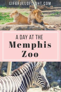 Check out the beautiful animals you have to see at the Memphis Zoo! Small Town America, North America, Forest Animals, Zoo Animals, Beautiful Cats, Animals Beautiful, Vacation Trips, Vacation Ideas, Taking Cat