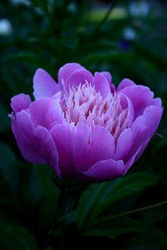 """Peony """"Lilac Times"""" ~ I want ~"""