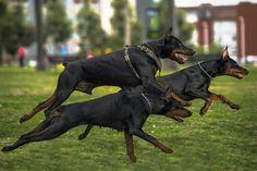 #Doberman #dog trio