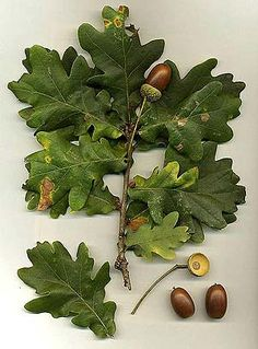 Acorns & leaves....we have so many oak trees.  This time of year the squirrels  build their nests with oak leaves and small branches.     In the autumn so many nuts fall from the trees the ground is covered in shells....you have to be careful for falling acorn bombs......:)