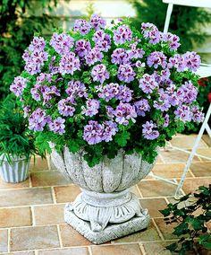 Cedar Scented Geranium | Plants from Bakker Spalding Garden Company