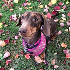 8 Facts about Dachshunds Standard Dachshund, Dachshund Breed, Olympic Mascots, 8 Facts, Types Of Coats, Miniature Dachshunds, Most Popular Dog Breeds, Hound Dog, Best Dogs