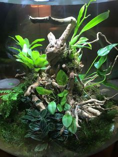 . Dart Frogs, Moss Garden, Paludarium, Terraria, Tree Frogs, Planted Aquarium, Aquariums, Reptiles, Bonsai