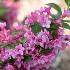 75 best flowering shrubs images on pinterest flowering bushes sonic abloom pink weigela proven winner series compact rounded shrub with deep green foliage mightylinksfo