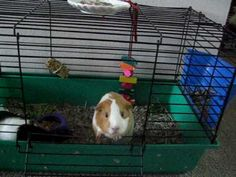 This video was takin in 2005. my 5 lil pigges were born in this cage. and this was shot after about a month and a half of having them. the black and while one is the mommy (Lulu) and the smart one is her lil girl (Fluffy). Shortly after the video, my Piggies no longer lived in this small lil cage (it was only for the birth & nursing of the babie...