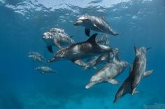 Indo-Pacific bottlenose dolphins (Tursiops aduncus) swimming freely close to the surface on a sunny day in Hurghada. Underwater Photography, Animal Photography, Common Bottlenose Dolphin, Prehistoric Animals, Wildlife Nature, Whale Watching, Sea World, Ocean Life, Marine Life