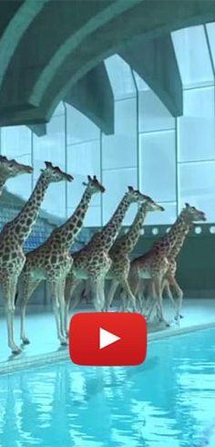Époustouflante chorégraphie de girafes !  http://rienquedugratuit.ca/videos/epoustouflante-choregraphie-de-girafes/