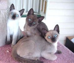 Tonkinese Kittens- how can you not fall in love with those faces?