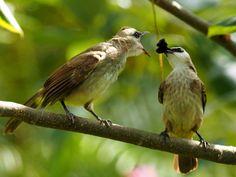 Yellow-vented bulbul - feeding time | by siewmunho