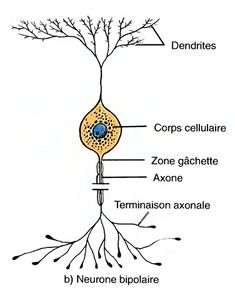 Les neurones bipolaires Neuron Structure, Neurone, Anatomy And Physiology, Human Body, Reiki, Culture, French, Education, School