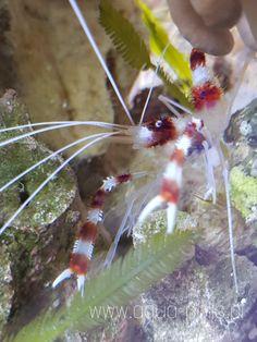 Stenopus hispidus (Banded coral shrimp and banded cleaner shrimp) Life Aquatic, Shrimp, Coral, Sea, Band, Sash, Ocean, Bands, Tape