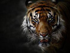 tiger backround full hd by Carrington Bush (2017-03-24)