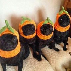 These pugs are desperate to be set free. / 51 Pugs Who Just Want Halloween To Be Over Black Pug Puppies, Pug Shirt, Fete Halloween, Halloween Rules, Kawaii Halloween, Happy Halloween, Pugs And Kisses, Pug Pictures, Pug Photos