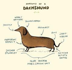 Anatomy of a Dachshund Art Print