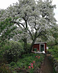 Saknar mitt päronträd. Vill ni veta vad som hände titta då in på bloggen. Naturligating blogspot.se #päronträd #spring #annikachristensen In my garden long Time ago.