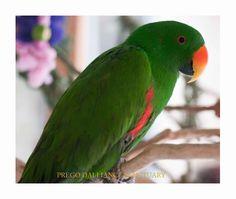 Eclectus Parrot Jr.