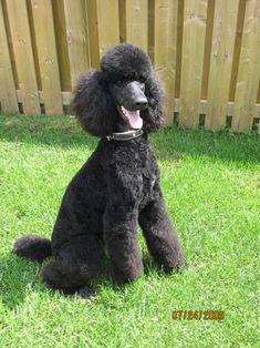 Black Standard Poodle, Mya