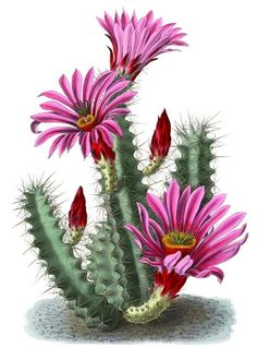 Most recent Free of Charge Cactus Flower printable Concepts Cactus along with succulents will be vegetation in which I've always favored so that as all of our waters e Cactus Drawing, Cactus Art, Cactus Flower, Floral Illustrations, Botanical Illustration, Old School Rose, Images Noêl Vintages, Small Canvas Paintings, Arte Floral