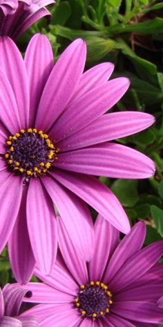 lavender Cape daisies, with pollen #flowers #daisies