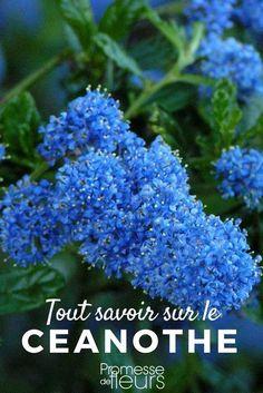 Le ceanothe ou Lilas de Californie est un bel arbuste à fleurs bleues. Découvrez comment bien le planter, le tailler et le cultiver. #jardin #jardinage #arbuste