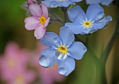 Last Summer's Forget-Me-Nots ~ Gone But Not Forgotten
