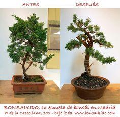 Antes y después. Poda y alambrado de un #junipero #tanuki. Realizado por Alberto Lioncourt. durante el curso anual de bonsái. BONSAIKIDO, tu escuela de #bonsai en Madrid. Paseo de la Castellana, 100, bajo izda. www.bonsaikido.com