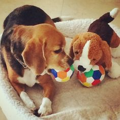 skipp the beagle