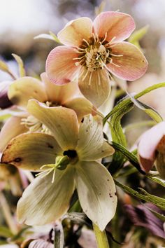 Spring Flower Photography Hellebores Fine by JudithKimberPhoto, $40.00