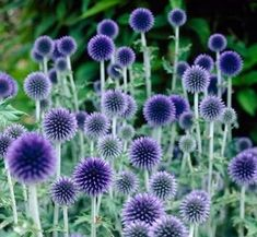 Veitchs Blue Echinops Zone 3 to Full sun, Echinops Veitch's Blue, Echinops ritro – Spring Perennials from American Meadows - Plants Garden Shrubs, Garden Plants, Terrace Garden, Garden Shade, Arrangements Ikebana, Spring Perennials, Shade Perennials, Full Sun Perennials, Flowers Perennials