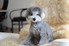 haircut #toypoodle #silverpoodle relaxing on #loungechair #tonetchair