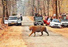 tiger crossing road in tadoba tiger reserve