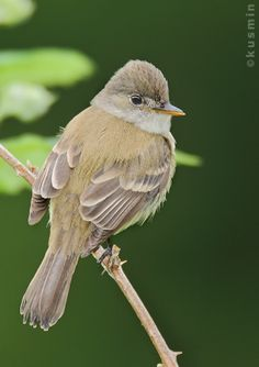 Willow Flycatcher.  Fairly common around Braddock Bay, near Rochester NY