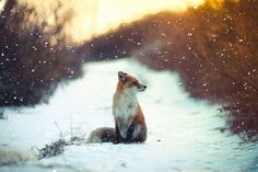 Fox in the snow by Manuel Roa https://twitter.com/vicman093/status/811487696971563008