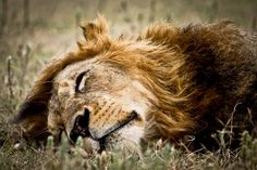 The sleeping beast: The lion is one of the Big Five game species tourists hope to see on safari in Tanzania