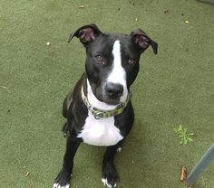 ♡ SAFE ♡ PANDA – A1088750 **RETURNED 09/19/16** MALE, BLACK / WHITE, AM PIT BULL TER MIX, 6 mos RETURN – ONHOLDHERE, HOLD FOR ID Reason PET HEALTH Intake condition UNSPECIFIE Intake Date 09/19/2016, From OUT OF NYC, DueOut Date 09/26/2016,