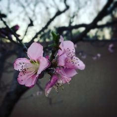 Spring blossom Pink Trees, Spring Blossom, Peach, Garden, Nature, Flowers, Plants, Beautiful, Photos